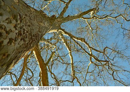 Leafless Tree Photograph From Down With Blue Sky