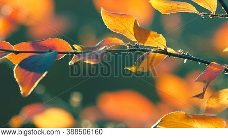 Colorful yellow red orange autumn leaves on cool green background. Macro closeup, shallow DOF, 4K  UHD.