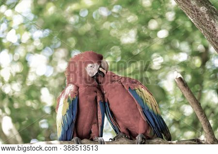 Two Beautiful Cute Funny Bird Of Red Feathered Ara Parrot Outdoor On Green Natural Background