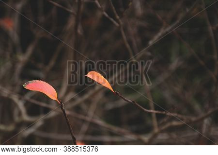 The Last Autumn Red Leaves On The Tree. Late Autumn. Background.