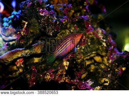 Six Line Saltwater Wrasse - Pseudocheilinus Hexataenia