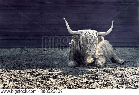 Highland Bull Or Ox As Symbol Of 2021 Year In Chinese Calendar On The Dark Background. New Year Card