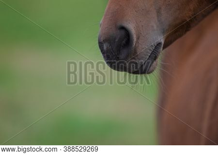 Muzzle Of A Brown Colt On A Green Background Of Grass Close-up. Horse Nose Close - Up In Sharpness,