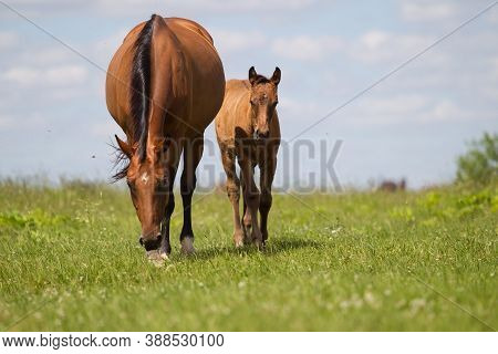 A Young Colt And A Mare Are Walking Through The Green Grass In The Field Towards The Camera. Rural F
