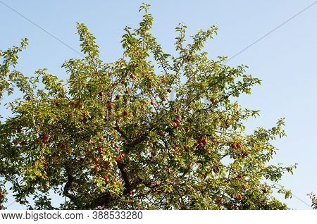The Canopy Of An Apple Tree In An Orchard With Branches Full Of Ripe Fruits