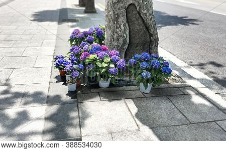 Brightly Colored Hydrangea Flowers In Pots Stand On The Sidewalk. Blue, Purple And Purple Hydrangeas