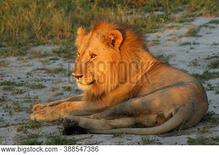 The Lion (panthera Leo) Subspecies Transvaal Lion (panthera Leo Krugeri), Also Known As The Southeas