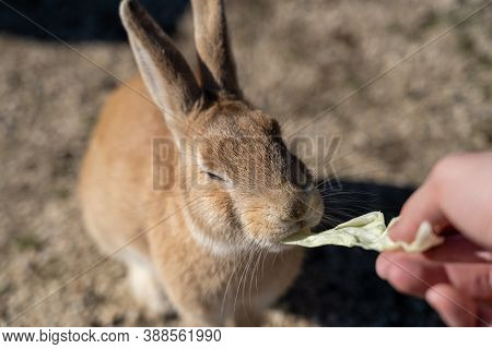 Feeding Wild Rabbits On Okunoshima ( Rabbit Island ). Numerous Feral Rabbits That Roam The Island, T