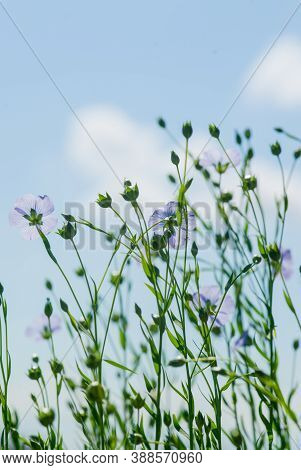 Blue Flowers Of Flax In A Field Against The Blue Sky, In Summer, Close Up,  Shallow Depth Of Field