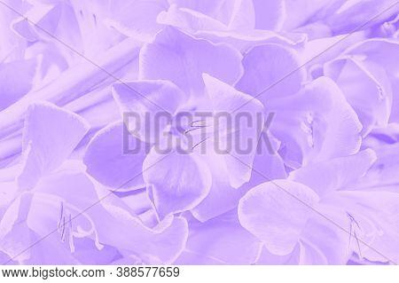 Beautiful Light Violet Color Gladioluses. Flower Background