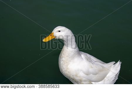 Duck Swimming White Duck On Green Water