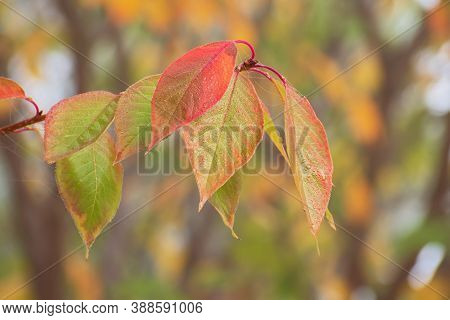 Beautiful Autumn Sacura Branch With Red - Green Leaves With Dew Drops And Cobweb On Blurred Bright M