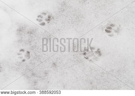 Cat Paw Prints On The White Snow In The Winter. The Animal Walks Alone In The Cold, Cold. Background