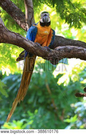 Blue-and-yellow Macaw (ara Ararauna) Perched On A Branch In The Brazilian Pantanal. Miranda Mato Gro