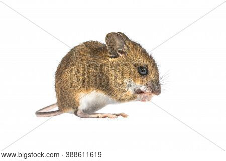 Eating Wood Mouse (apodemus Sylvaticus) Isolated On White Background. This Cute Looking Mouse Is Fou