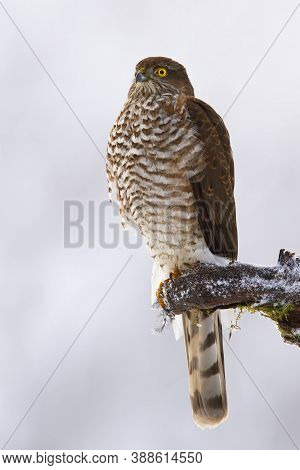 Dominant Eurasian Sparrowhawk Sitting On Bough In Winter.