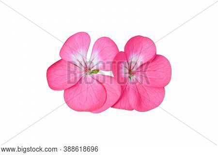 Pink Flower Of Geranium, (pelargonium) Isolated On White Background. Object With Clipping Path