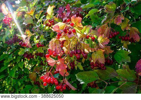 Red Viburnum. Ripe Viburnum Berries On A Bush.
