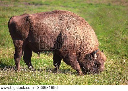 Brown Bison Grazing On The Field, Prairie