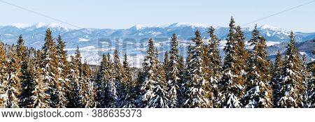 Panorama landscape of the winter forest of snowy spruce and firs trees. Frozen tree in wintry season. Nature background