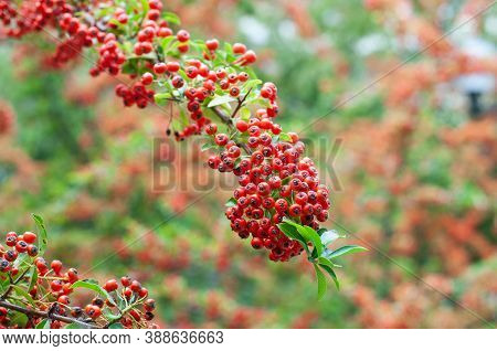 The Twig Of A Firethorn Shrub With Decorative Red Berries
