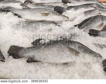 Many Fresh Asian Seabass, Giant Seaperch, Barramundi Or Silver Seaperch Fish Freezing On Ice At Seaf
