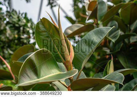 Ficus Elastica, The Rubber Fig, Rubber Bush, Rubber Tree, Rubber Plant, Or Indian Rubber Bush, India