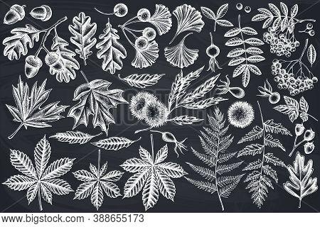 Vector Set Of Hand Drawn Chalk Fern, Dog Rose, Rowan, Ginkgo, Maple, Oak, Horse Chestnut, Chestnut,