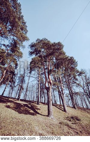 View From The Bottom Of The Hill Through Tall Pines On The Slope. Pine Trees Like Soldiers Guarding