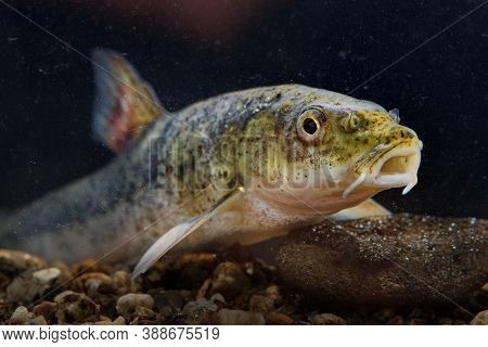 Round-scaled Barbell - Barbus Cyclolepis Is A Freshwater Fish Species In The Family Cyprinidae. It I