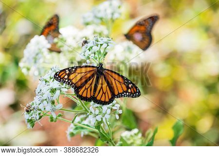 Monarch Butterfly (danaus Plexippus) Feeding Wings Opened On White Flower Blossoms In The Garden. Tw