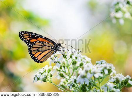 Monarch Butterfly (danaus Plexippus) Feeding On White Flower Blossoms In The Garden