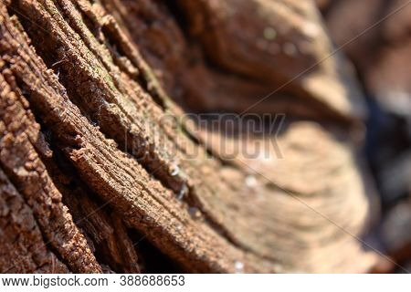 Sinuous Texture Of A Dry Wooden Trunk. High Quality Photo