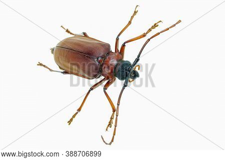 This Is A Titan Beetle Or Beetle Titanium Or Longhorned Beetles Taken Photo From Thailand, Isolated