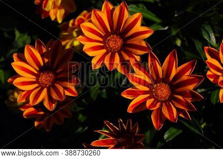 Colorful Gazania Flowers Or African Daisy In A Garden
