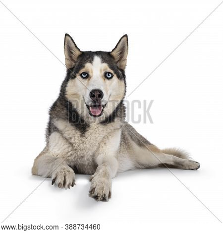 Beautiful Young Adult Husky Dog, Laying Down Facing Front With Paws Over Edge. Looking Towards Camer