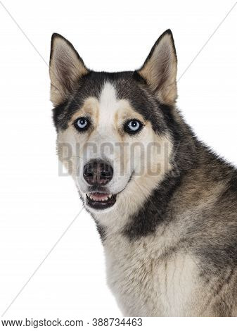 Head Shot Of Beautiful Young Adult Husky Dog, Sitting Up. Looking Towards Camera With Light Blue Eye