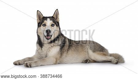 Beautiful Young Adult Husky Dog, Laying Down Facing Side Ways. Looking Towards Camera With Light Blu