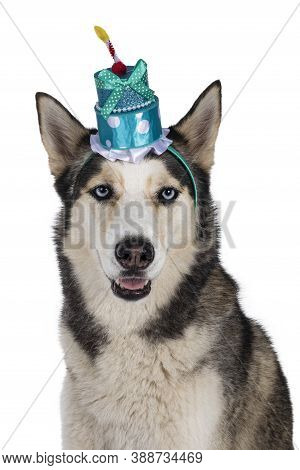 Head Shot Of Beautiful Young Adult Husky Dog, Sitting Up Wearing Blue Cake Birthday Hat. Looking Tow