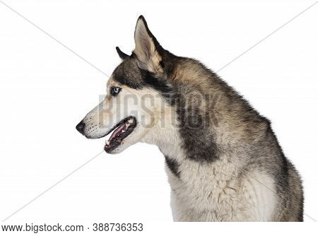 Profile Head Shot Of Pretty Young Adult Husky Dog, Sitting Side Ways. Looking Straight Ahead With Li