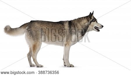 Pretty Young Adult Husky Dog, Standing Side Ways. Looking Straight Ahead Showing Profile With Light