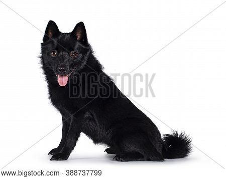 Cute Solid Black Schipperke Dog, Sitting Up Side Ways. Looking Curious Towards Lens With Brown Eyes.