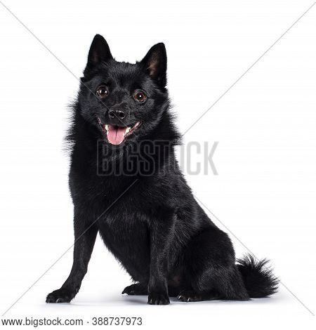 Cute Solid Black Schipperke Dog, Sitting Up Facing Front. Looking Curious Towards Lens With Brown Ey