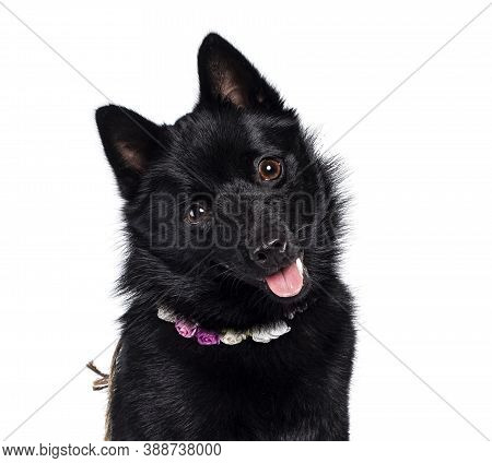 Haed Shot Of Cute Solid Black Schipperke Dog,  Wearing Flowers Around Neck. Looking Curious Towards