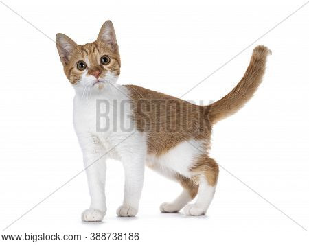 Cute Young Red With White Non Breed Cat, Standing Side Ways. Looking Towards Camera With Sweet Brown