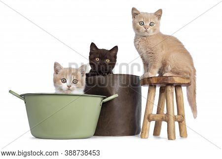 Cute Trio Of British Shorthair Kittens In Varied Colors, Sitting On And In Stool, Basket And Bucket.