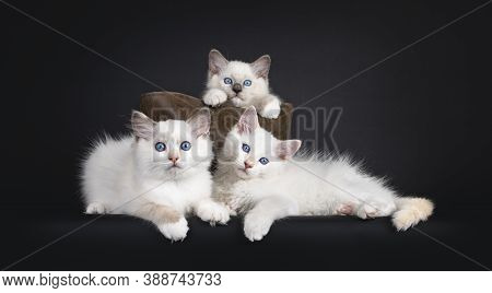 Group Of Three Ragdoll Cat Kittens Sitting In En And In Front Of Brown Leather Bag. All Looking Towa
