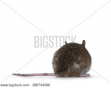 Brown With White Young Adult African Rat Aka Mastomys Natalensis, Standing Backwards. Isolated On Wh