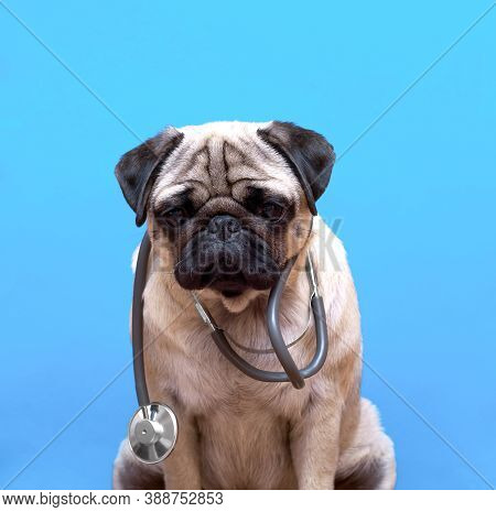 Portrait Of A Cute Pug Dog As A Medicine Doctor With A Stetoscope.