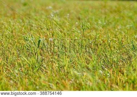 Green Grass, Meadow Field. Summer Natural Lawn Surface. Beautiful Grass Background For Design. Pastu